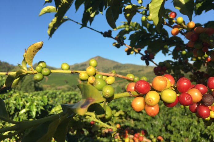 caffè-robusta-costiera-caffè-design