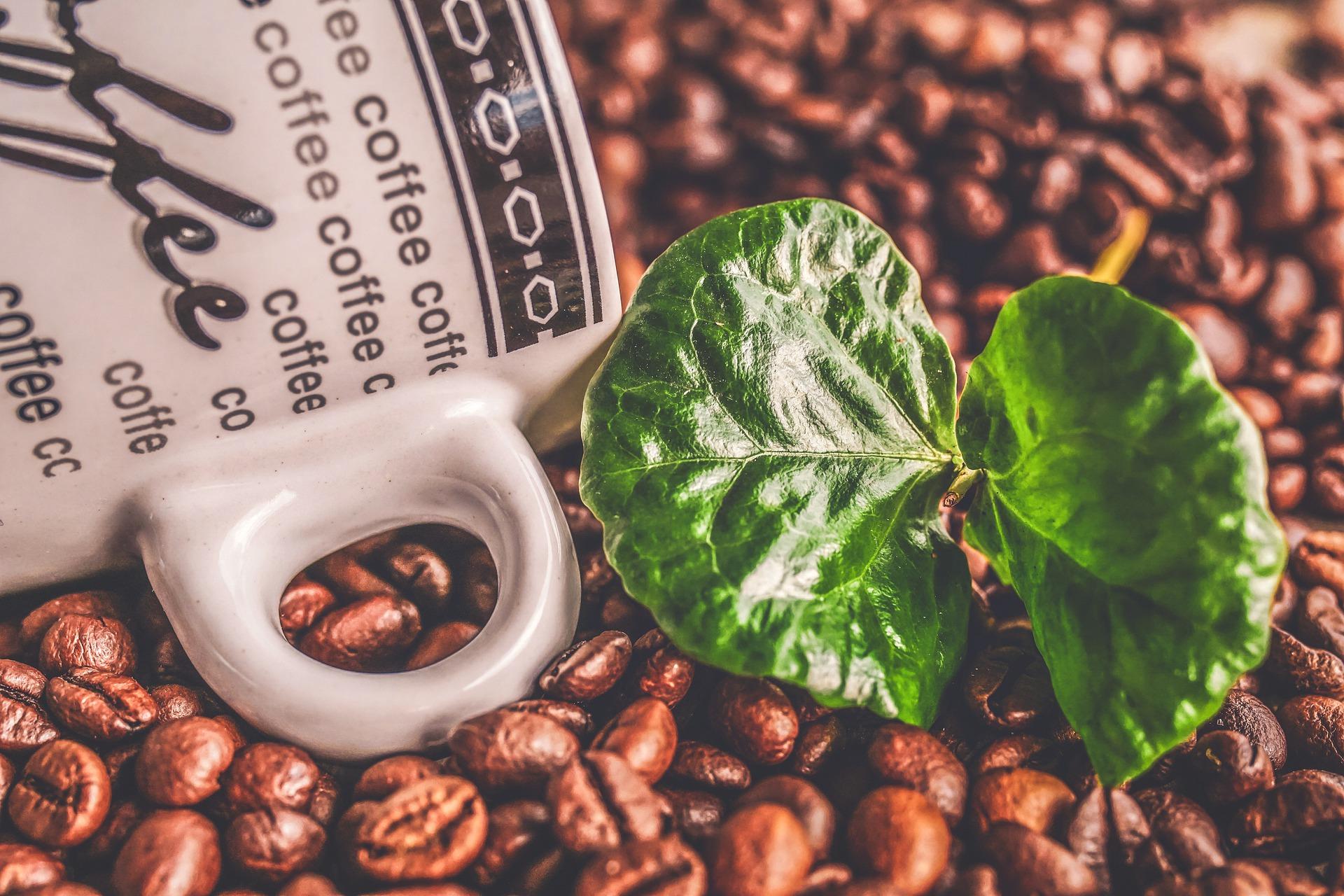 pianta-del-caffè-costiera-caffè-design-arabica-robusta-caffè